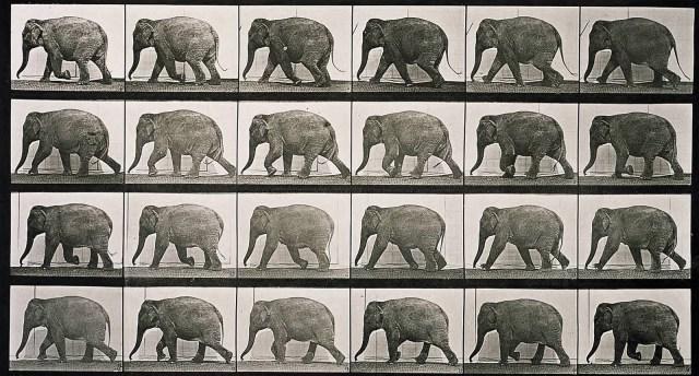 Elephant_walking