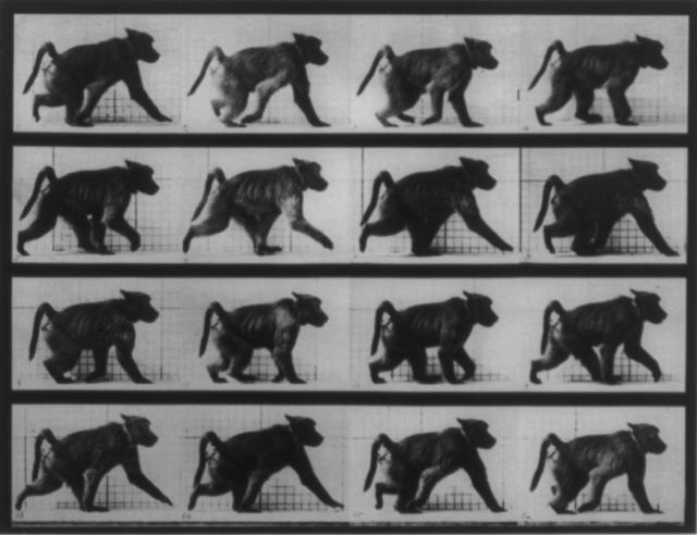 Muybridge_baboon_running_1
