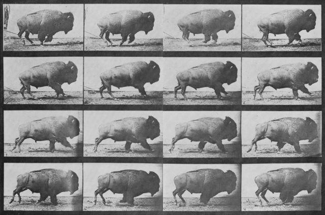 Muybridge_Buffalo_sequence