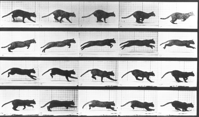 Muybridge_cat