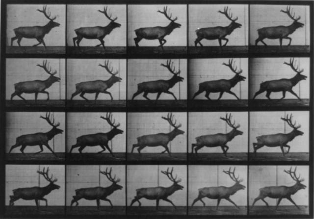 Muybridge_elk_running